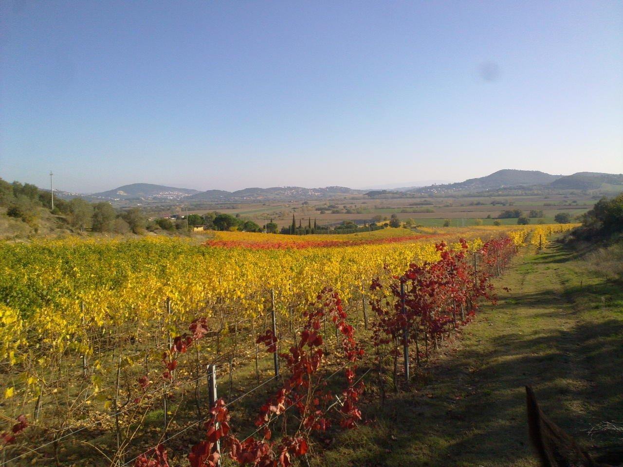 wijngaard in de herfst