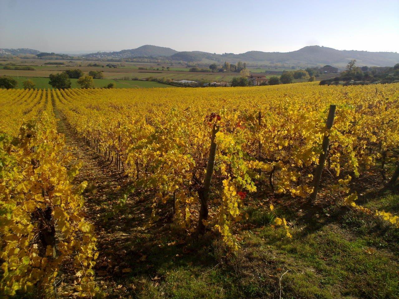 goudgele wijngaard